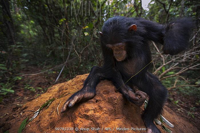 Eastern chimpanzee  (Pan troglodytes schweinfurtheii) juvenile female 'Tabora' aged 6 years using a stem as a tool to fish for termites.Gombe National Park, Tanzania.