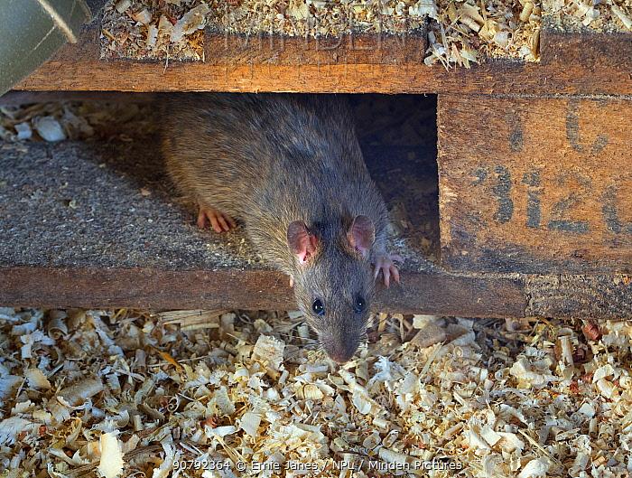 Brown rat (Rattus norvegicus) in farm barn, Norfolk, England, UK, February.