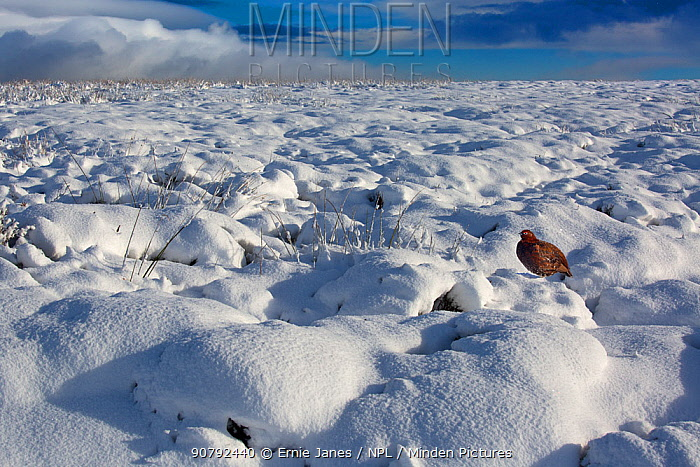 Red grouse (Lagopus scoticus) in snow, Yorkshire Dales, England, UK, November.