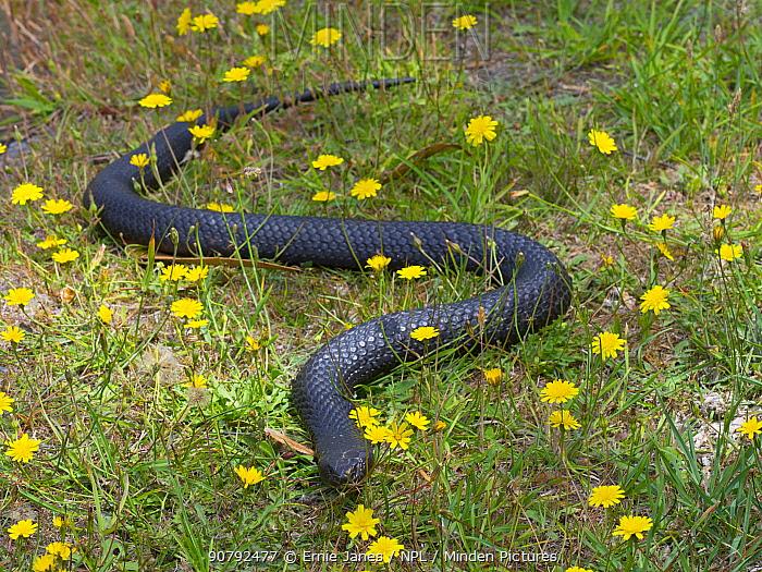 Tasmanian tiger snake (Notechis scutatus) highly venomous species. Tasmania, Australia.