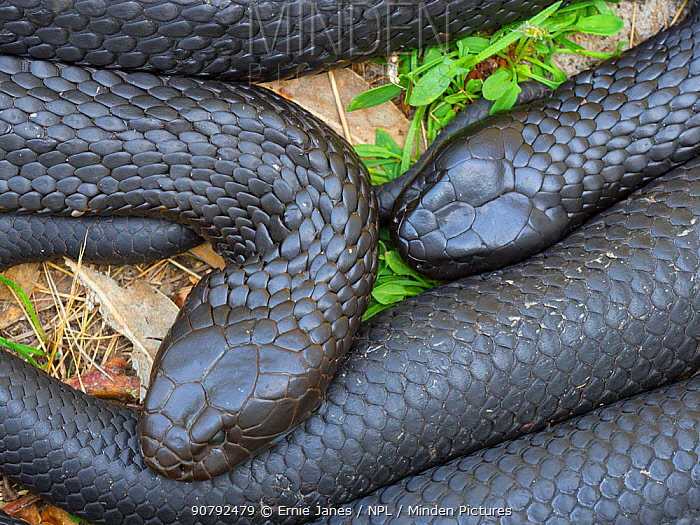Tasmanian tiger snake (Notechis scutatus) two together, highly venomous species. Tasmania, Australia.
