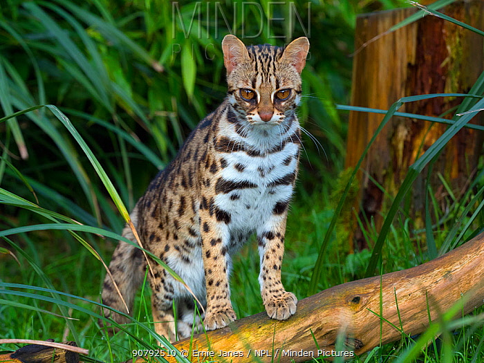 Asian leopard cat (Prionailurus bengalensis) captive, occurs in South East Asia.