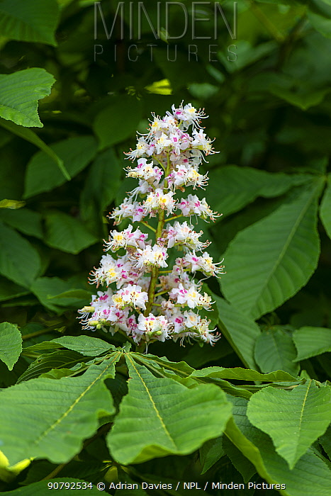 Horse chestnut (Aesculus hippocastanum) flowers. Surrey, England, UK.  May.