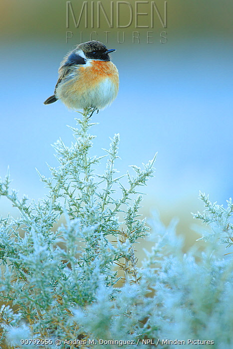 Common stonechat (Saxicola torquatus) on frost covered broom (Genista triacanthos) Sierra de Grazalema Natural Park, southern Spain, December.