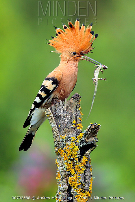 Hoopoe (Upupa epops) with lizard prey, Arcos de la Frontera, southern Spain, May.