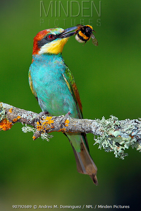 Bee-eater (Merops apiaster) with Bumblebee prey, Sierra de Grazalema Natural Park, southern Spain, July.