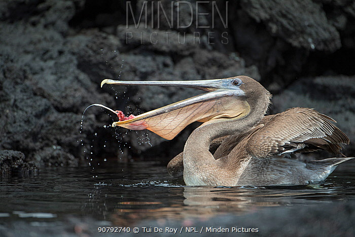Galapagos brown pelican (Pelicanus occidentalis urinator) scavenging on tuna  from Galapagos sea lion (Zalophus wollebaeki) hunt.