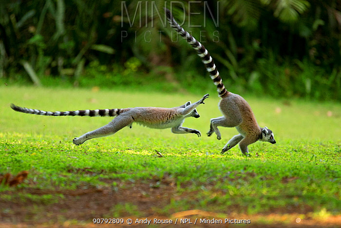 Ringtail Lemurs (Lemur catta) chasing each other and playing. Madagascar.