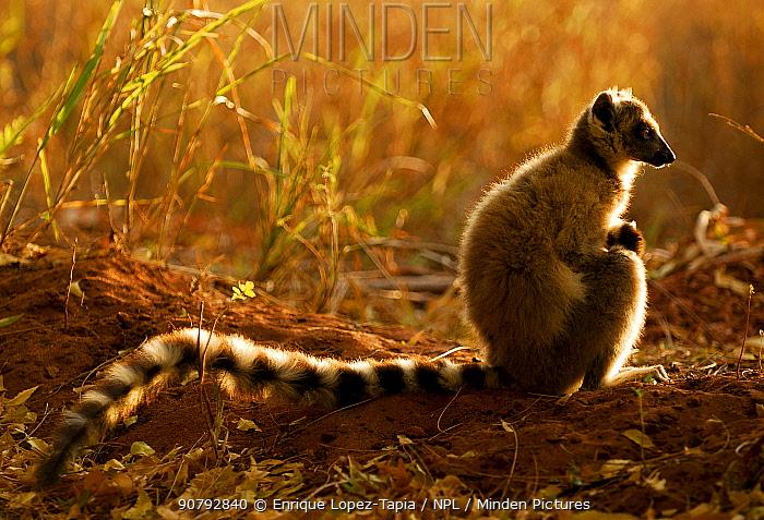 Ring-tailed lemur (Lemur catta) at sunset, Berenty Reserve, Madagascar. Endangered species.