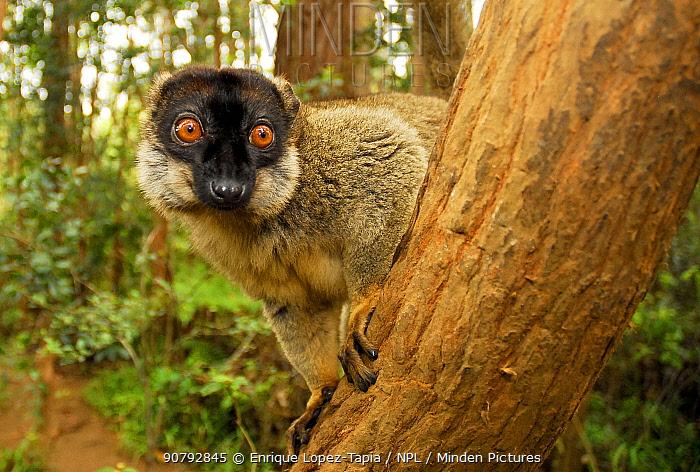 Common brown lemur (Eulemur fulvus) in tree. Andasibe-Mantadia National Park.