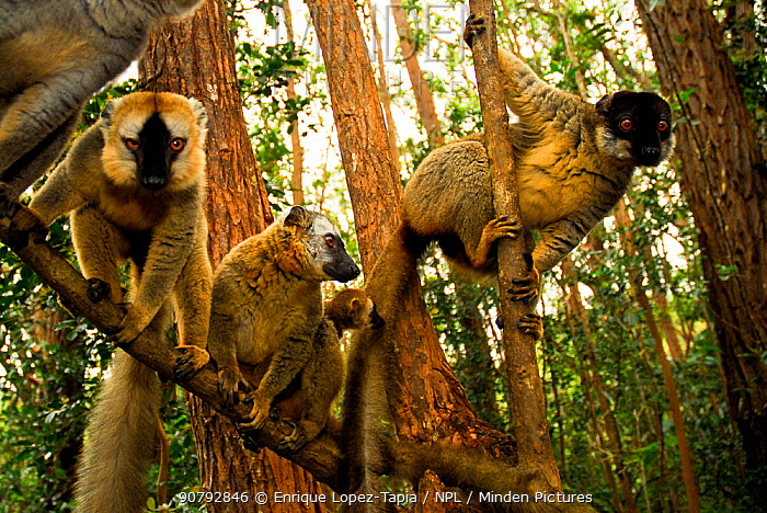 Common brown lemur (Eulemur fulvus) and Red-fronted brown lemurs (Eulemur rufus) in tree, Andasibe-Mantadia National Park, Madagascar.