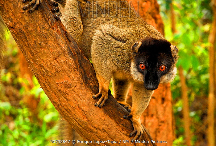Common brown lemur (Eulemur fulvus) in tree, Andasibe-Mantadia National Park, Madagascar.