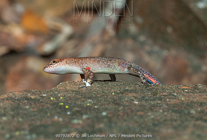 Two-spined rainbow skink (Carlia amax) Warrender Hill, Kimberely Region, Western Australia