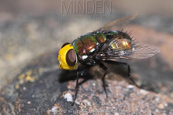Snail parasite blowfly (Amenia imperialis) Cape Tribulation, North-eastern Queensland, Australia.