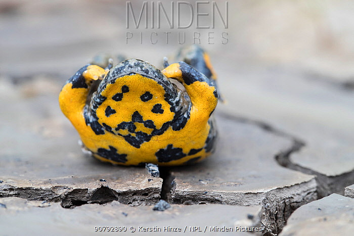 Yellow-bellied toad (Bombina variegata) in defensive posture showing warning colours, on dried soil with mud cracks, Weser Hills, Lower Saxony, Germany. August.