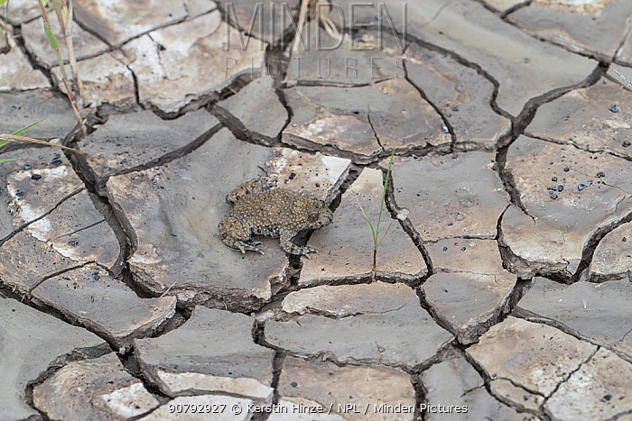 Yellow-bellied toad (Bombina variegata), adult, on dried soil with mud cracks, Weser Hills, Lower Saxony, Germany. August.