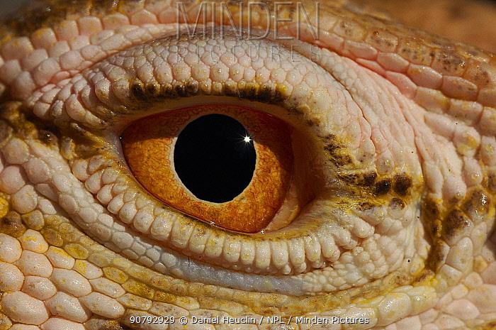 Desert monitor (Varanus griseus griseus) occurs in Sahara Desert. Controlled conditions.