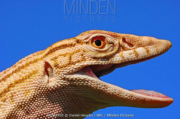 Desert monitor (Varanus griseus griseus) occurs in Sahara Desert. Controlled conditions.