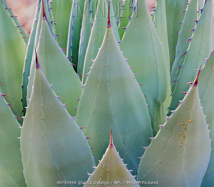 Desert agave (Agave deserti) Sonoran Desert near Tucson Mountains, Arizona, USA. Taken with digital focus stacking.