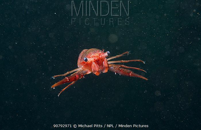 Gregarious lobster krill (Munida gregaria) juvenile. Beagle Channel. Argentina.