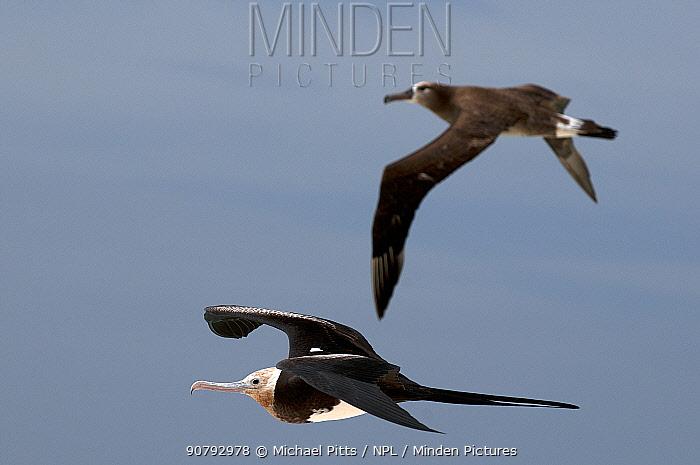 Magnificent frigate bird (Fregata magnificens) and Black-footed albatross (Phoebastria nigripes) fledged juveniles. Midway Atoll.
