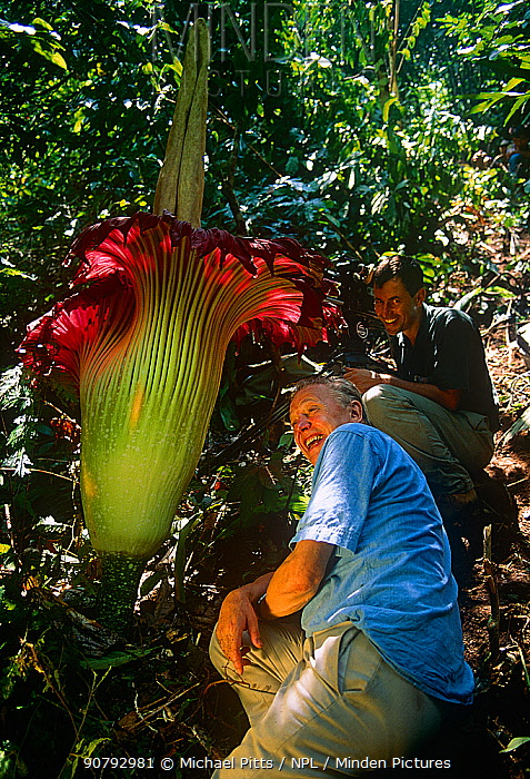Sir David Attenborough and cameraman Michael Pitts next to Titan arum (Amorophallus titanum) flower,  taken on location for BBC tv series  Private Life of Plants, 1993