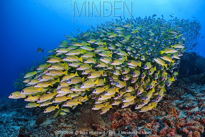 Blueline snapper (Lutjanus kasmira) school. Vavuu Atoll, Maldives. Indian Ocean.