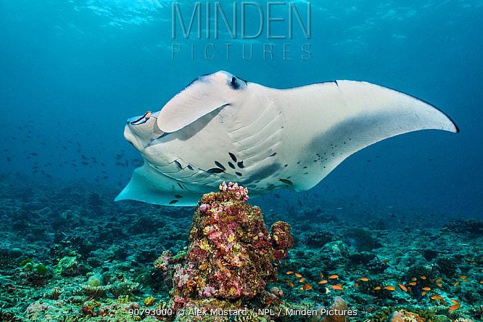 Reef manta (Mobula alfredi) at a cleaning station with Cleaner wrasse (Labroides dimidiatus). South Ari Atoll, Maldives. Indian Ocean.