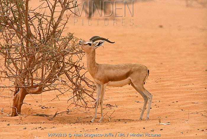 Dorcas gazelle (Gazella dorcas) male feeding on tree Maerua tree during very dry period. Tenere, Sahara, Niger.