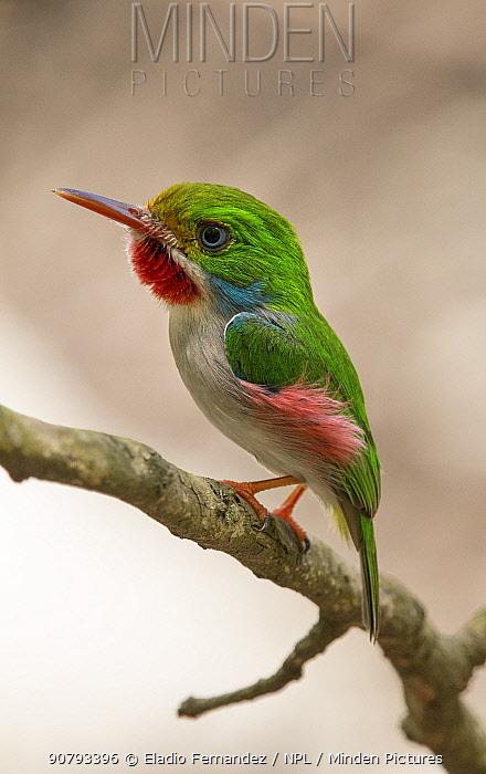 Cuban tody (Todus multicolor)  perched, Cuba. Endemic.