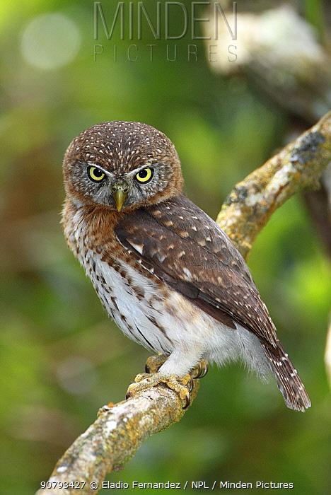 Cuban pygmy owl (Glaucidium siju)  Cuba. Endemic.