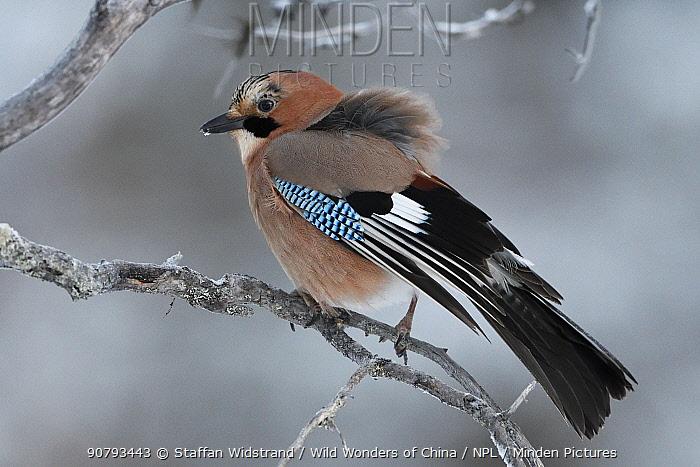 Jay (Garrulus glandarius) perched on branch, Kalvtrask, Vasterbotten, Sweden. December.