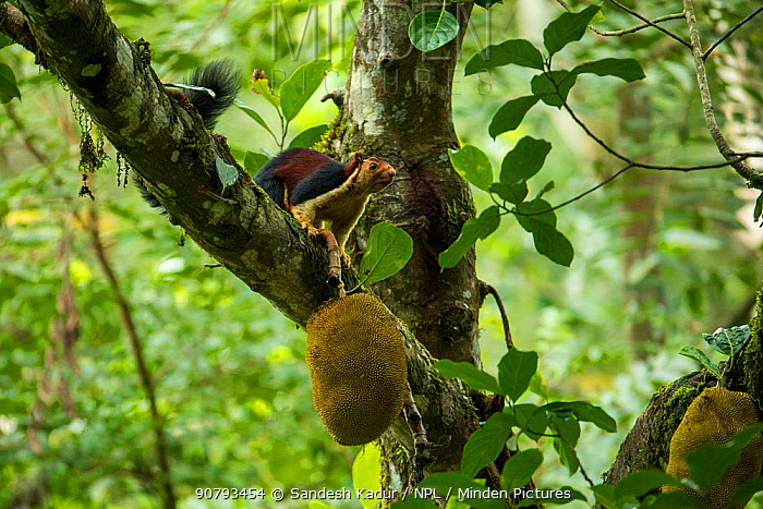 Indian giant squirrel (Ratufa indica) on tree with jack fruit, Tamil Nadu, India.