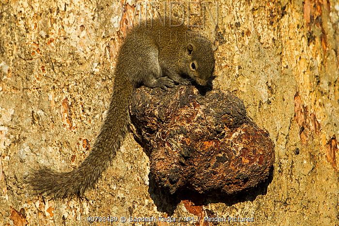 Irrawaddy squirrel (Callosciurus pygerythrus) on tree knot, Kaziranga National Park, Assam, India.
