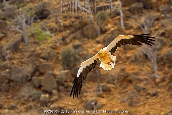 Egyptian vulture (Neophron percnopterus), in flight, Socotra Island, UNESCO World Heritage Site, Yemen