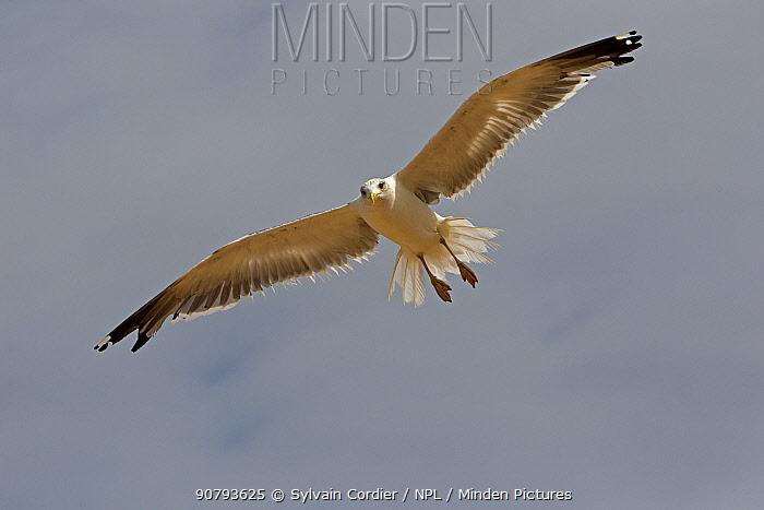 Caspian gull (Larus cachinnans) in flight, Socotra Island UNESCO World Heritage Site, Yemen.