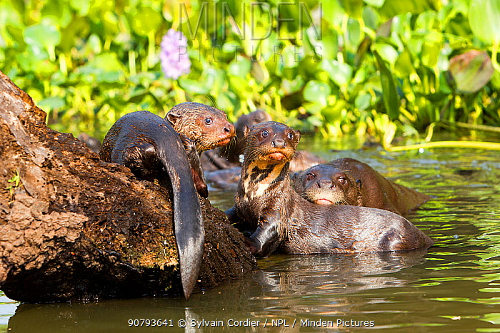 Giant otter (Pteronura brasiliensis) group on dead tree, Pantanal, Mato Grosso, Brazil.