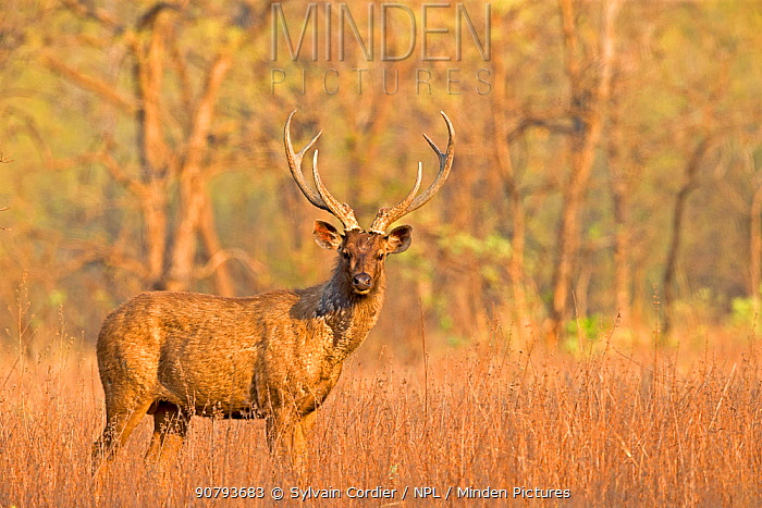 Sambar deer (Rusa unicolor), Tadoba National Park, Maharashtra, India.