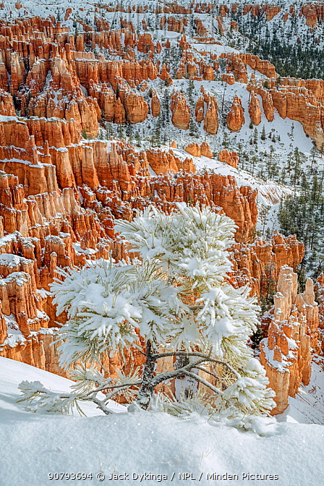 Snow covered Limber pine (Pinus flexilis), on northfacing canyon rim, with the spires and pinnacles in the background. Bryce Canyon National Park, Utah, USA. January 2)18.