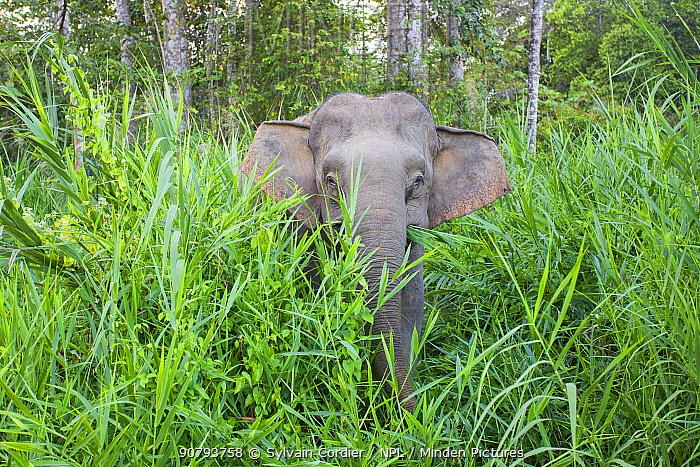Borneo pygmy elephant (Elephas maximus borneensis) Kinabatangan River, Sabah, Borneo.