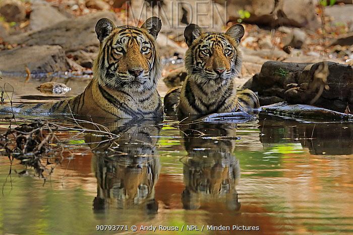 Bengal tiger (Panthera tigris) female 'T19 Krishna' with juvenile in water, Ranthambhore, India