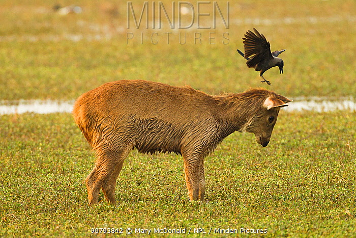 Sambar deer (Rusa unicolor) fawn in marsh with House crow, (Corvus splendens) trying to land on head, Keoladeo National Park, Utter Pradesh, India