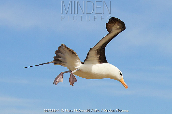 Black-browed albatross (Thalassarche melanophris) flying, landing at rookery, New Island North, Falkland Islands, South Atlantic