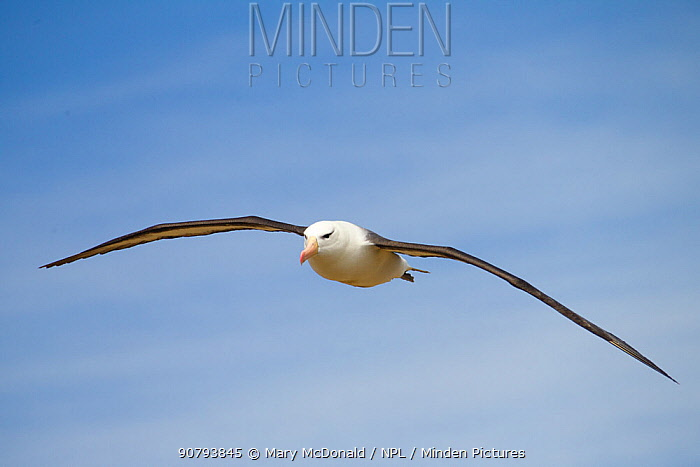 Black-browed albatross (Thalassarche melanophris) flying, at rookery, New Island North, Falkland Islands, South Atlantic