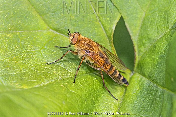 Common stiletto fly (Thereva nobilitata)  Warwick Gardens, Peckham, London, England, UK. June.
