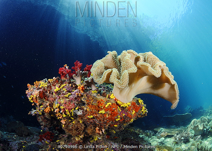 Leather coral (Sarcophyton sp.), on a rock with soft corals and Yellow Sea Cucumbers (Colochirus robustus), Triton Bay, near Kaimana, West Papua, Indonesia