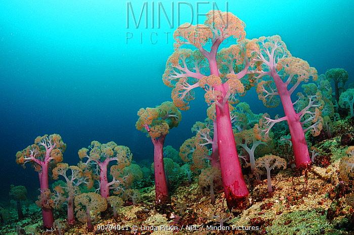 Flower tree soft corals (Umbellulifera sp.), Triton Bay, near Kaimana, West Papua, Indonesia