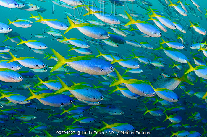 Blue and gold fusiliers (Caesio teres) schooling, Triton Bay, near Kaimana, West Papua, Indonesia