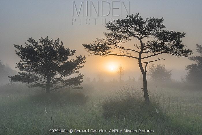 Scots pine tree (Pinus sylvestris) at sunrise, Klein Schietveld, Brasschaat, Belgium. September.
