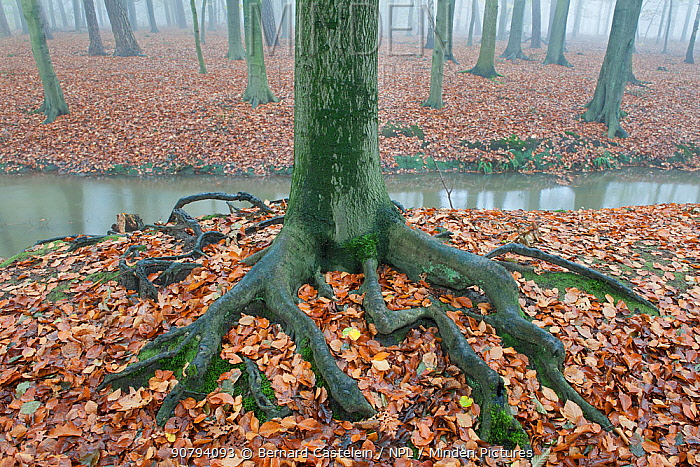 Beech tree (Fagus sylvatica) showing roots, Peerdsbos, Brasschaat, Belgium